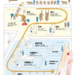 インフォグラフィック:牛の解体工程